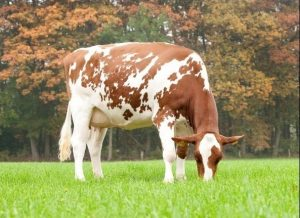 Candlelight-P-Red VG-86, #2 Red Impact Koe