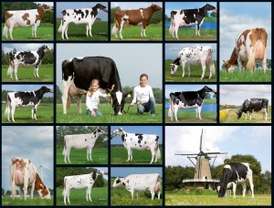 Bring the best cow family into your barn