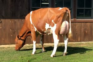 Golden Rose Barbritzi Red EX-90, EX-93 uier!
