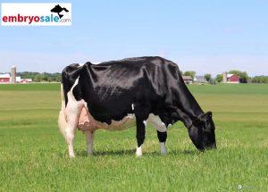 Een indrukwekkende koe …